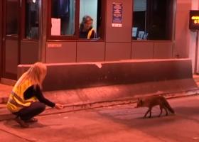 Τι γυρεύει μια... αλεπού σε διόδια της Εγνατίας Οδού; (video) - Κεντρική Εικόνα