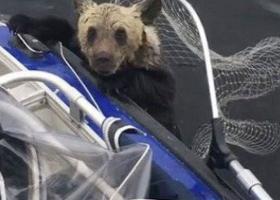 Έσωσαν με... απόχη δύο καφέ αρκουδάκια από βέβαιο πνιγμό (video) - Κεντρική Εικόνα