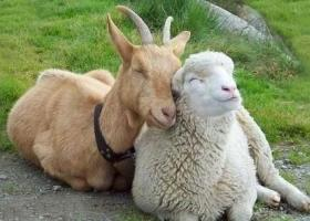 Αρνί, πρόβατο ή κατσίκι; Τι είναι τι, για να μην σας πιάνουν αδιάβαστους... - Κεντρική Εικόνα