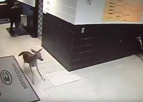 «Εισβολή» ελαφιού σε σχολείο (video) - Κεντρική Εικόνα
