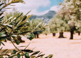 Βορίδης: Προτεραιότητα η αντιμετώπιση των παράνομων ελληνοποιήσεων της βρώσιμης ελιάς - Κεντρική Εικόνα