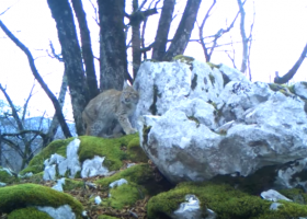 O «άφαντος» λύγκας επανεμφανίζεται στα Βαλκάνια - To «πείραμα» της Μάλα (Video) - Κεντρική Εικόνα
