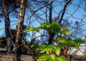 Τουρκία: Εκατό δενδρύλλια φύτεψαν στη μνήμη των θυμάτων της φονικής πυρκαγιάς στο Μάτι Αττικής  - Κεντρική Εικόνα