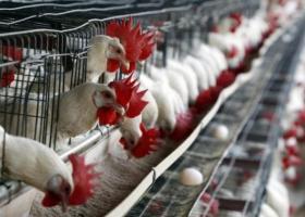 Συλλήψεις δύο υπόπτων στην Ολλανδία στο πλαίσιο της έρευνας για τα μολυσμένα αυγά - Κεντρική Εικόνα
