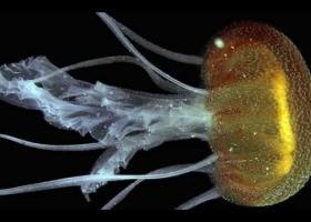 Ένα νέο είδος μέδουσας επέστρεψε στο Ιόνιο (video) - Κεντρική Εικόνα