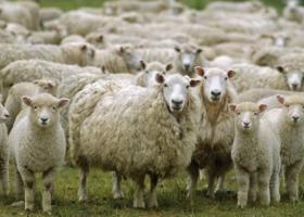 Σε ηλεκτρονικό πλειστηριασμό 200 πρόβατα - Η απίστευτη υποχρέωση του οφειλέτη κτηνοτρόφου - Κεντρική Εικόνα