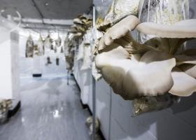 Έλληνες έστησαν, στο Έσσεξ, μικροφάρμα με μανιτάρια, που καλλιεργούν χρησιμοποιώντας καφέ της γειτονιάς!  - Κεντρική Εικόνα