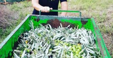 Παρουσιάστρια του ΣΚΑΙ… μαζεύει ελιές στο Πήλιο - Κεντρική Εικόνα