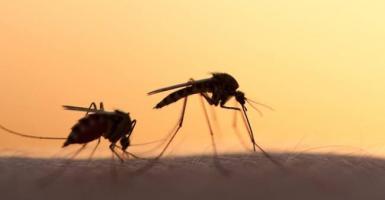 Ένας Έλληνας σε πρόγραμμα καταπολέμησης κουνουπιών με... στείρα «αδέλφια» τους - Κεντρική Εικόνα