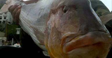 Άλλοι ψαρεύουν ψήφους, αλλά συναγρίδα 15,5 κιλών ένας ψαράς στη Χίο! (photos) - Κεντρική Εικόνα