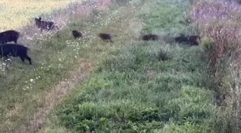 Δεκάδες αγριογούρουνα στήνουν... επιχείρηση για να περάσουν τα σύνορα! (video) - Κεντρική Εικόνα