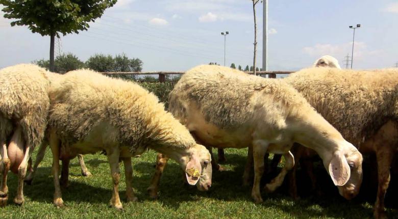 Αποστόλου: Η έκτακτη ενίσχυση της αιγοπροβατοτροφίας πρέπει να επεκταθεί και στις απομονωμένες περιοχές - Κεντρική Εικόνα