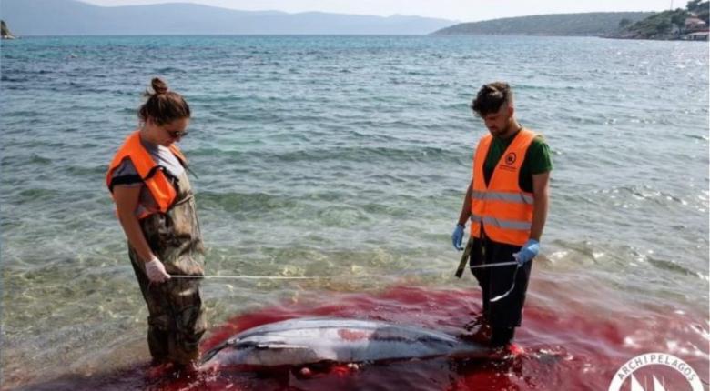 Φρίκη στα Δωδεκάνησα με μαζική σφαγή θαλάσσιων θηλαστικών - Ξεβράζονται φώκιες και δελφίνια (Photos) - Κεντρική Εικόνα