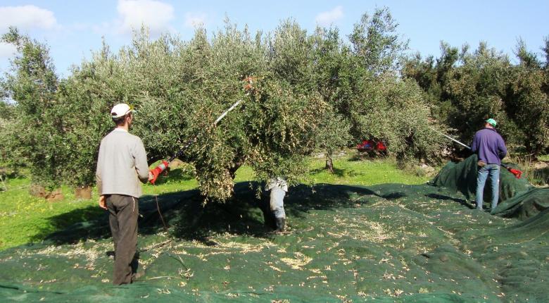 Δραματική η φετινή χρονιά για τους ελαιοπαραγωγούς λόγω του δάκου - Κεντρική Εικόνα