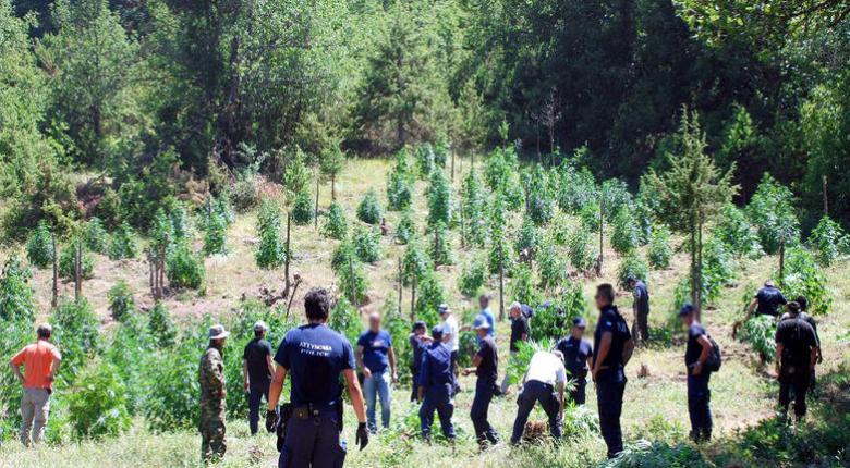 Λάρισα: Συλλήψεις για τη μεγαλύτερη φυτεία χασίς που εντοπίστηκε ποτέ! - Κεντρική Εικόνα