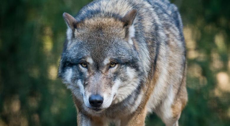 Επέστρεψαν οι λύκοι στην Πάρνηθα μετά από 50 χρόνια (photos) - Κεντρική Εικόνα